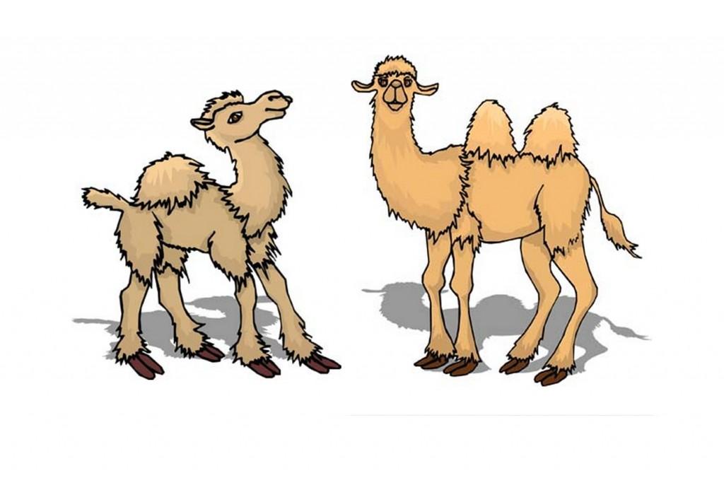 chameau une bosse ou deux